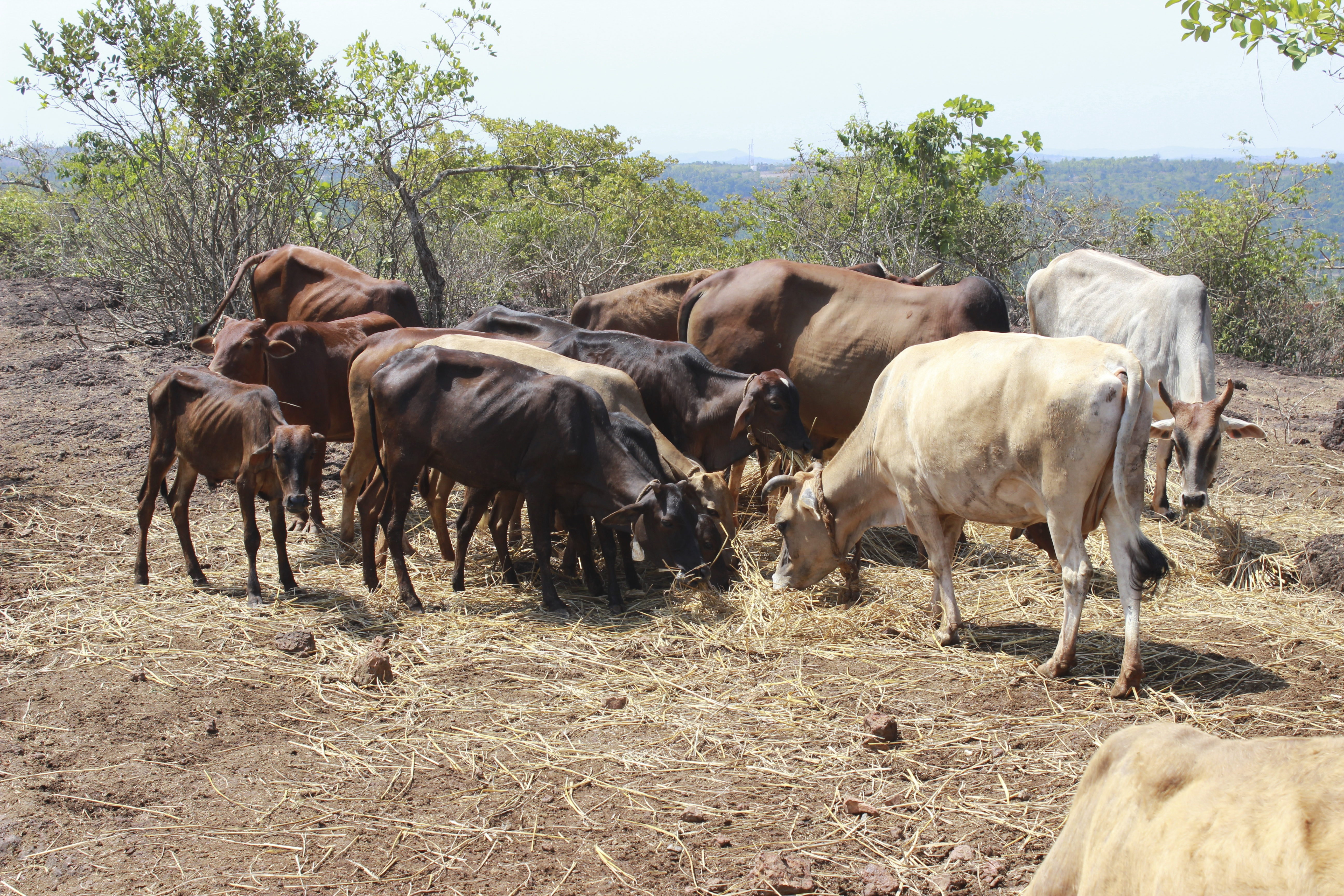 desi cow vs exotic breed of cattle