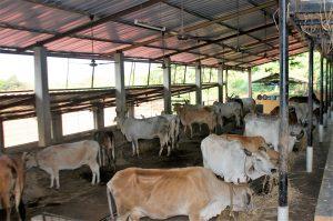 Desi Cows