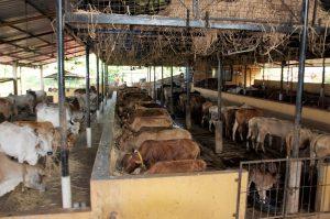 Decreasing Population of Desi Indian Cows