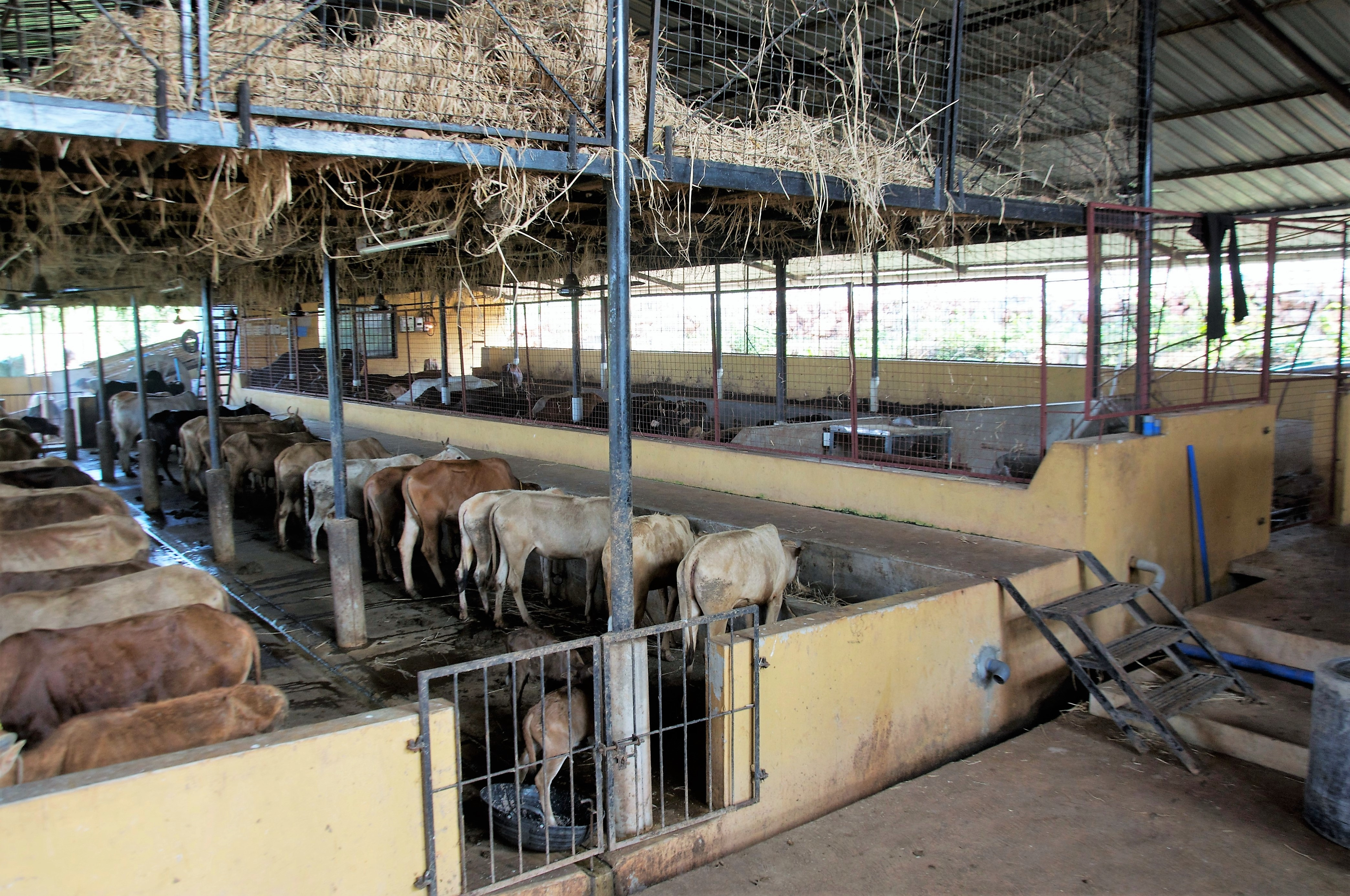 Desi cow shed
