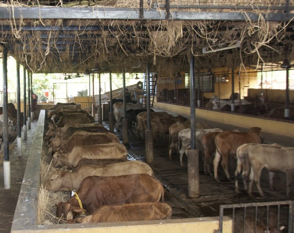 Cow sheds