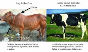 Desi Cows vs Exotic Cattle Breed