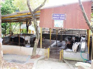 Kapila Dhama - Home for desi cows