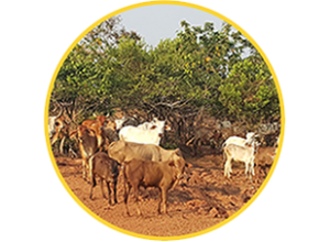 research papers cow urine Gujarat researchers find traces of gold in urine pathak told the indian express gold from cow urine the objective of the research was to.