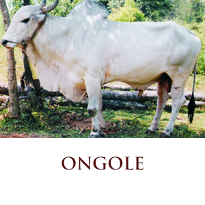ongole the best indian cow breed