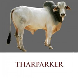 Tharparkar – Pure Indian Cow Breed