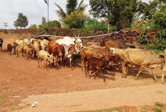 Cows Grazing at Surabhivana