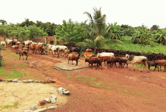 Indian Cows grazing