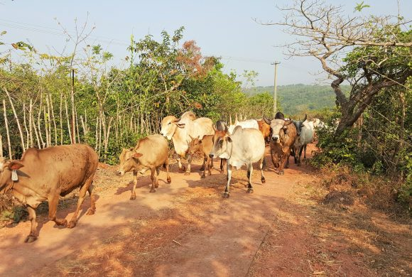 Indian Breed of Cows at Surabhivana