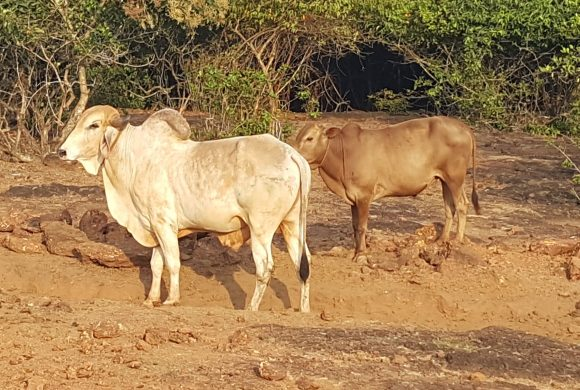 Save Indian Cows - 2