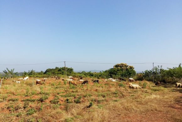 Taking care of Cows - Surabhivana