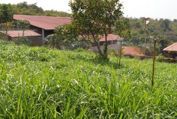 Grassland for Cows of Surabhvana