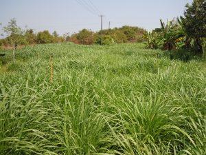 Grass fields in Surabhivana