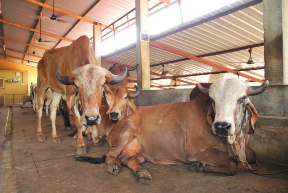 Save Indian Cows - 1