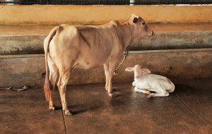 Golden Kapila with white calf