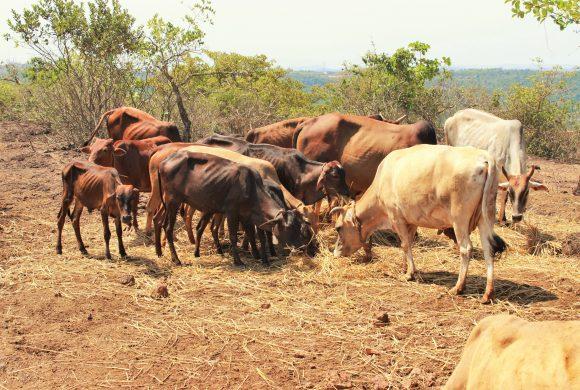 Cows Grazing Peacefully, Surabhivana