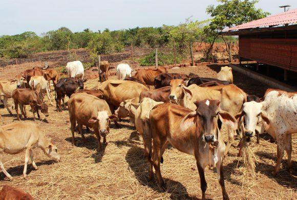 Cows Grazing at Gomala, Surabhivana