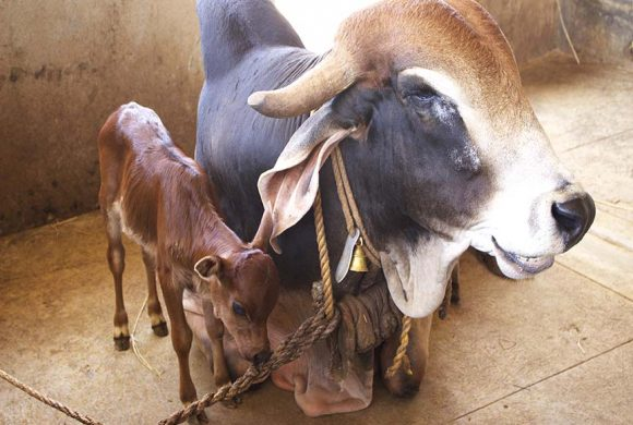 cow and calves at surabhivana