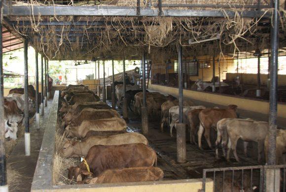 Cows Sheds at Surabhivana