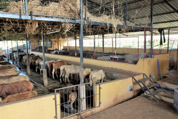 Surabhivana Cow Shelter