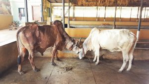 Indian holy cow – Scientific and Cultural Evidence