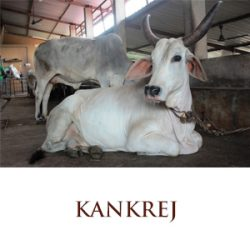 Kankrej cow - Best Indian Cow Breed for Sale