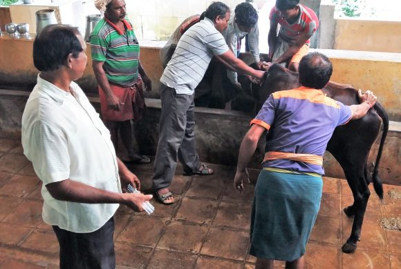 Vaccination of Cows at Surabhivana - 2