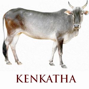 Kenkatha Cow