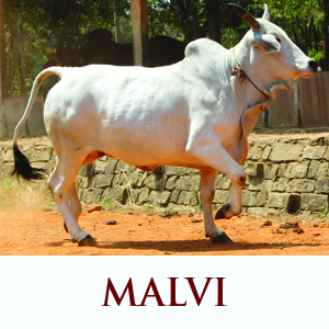 Malvi Cow Breed
