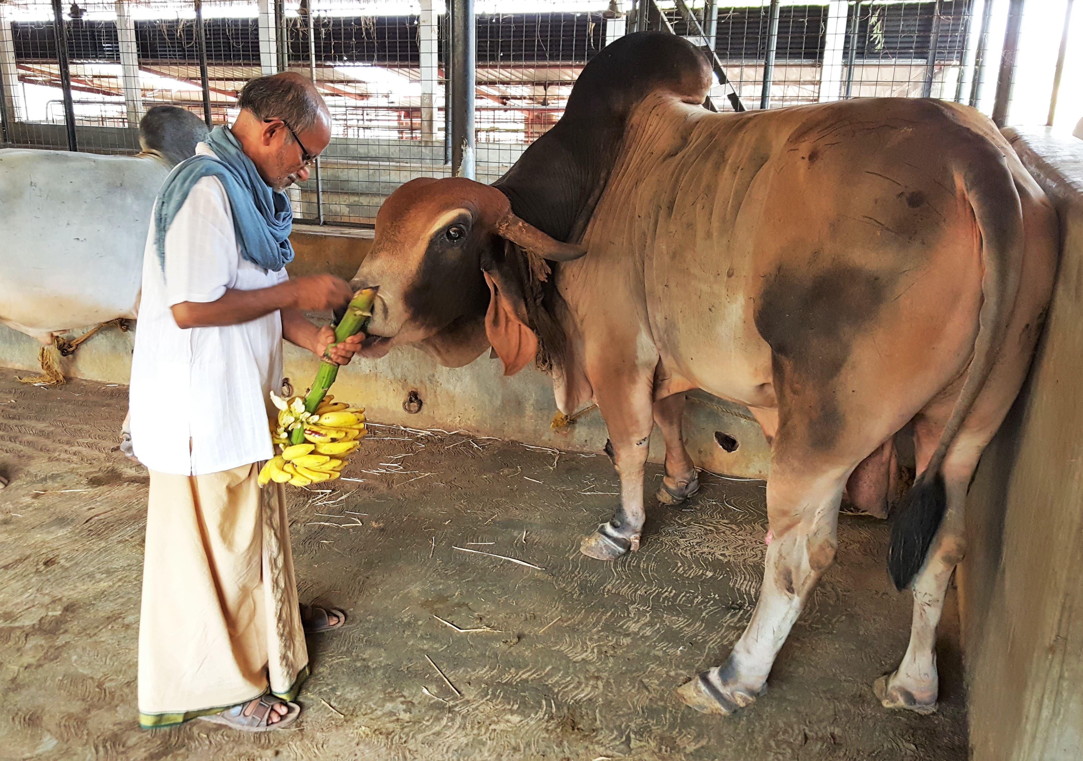Brahman Cow Brahman Cattle Brahman Bull Breeders ...  Brahman Cattle Bull