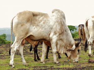 Gyr Bull