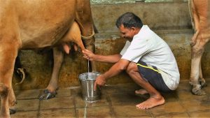 A2 milk - Cow Milking Process at our Ashram