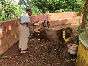 Gou Dhaan - Guruji with cows at our Ashram